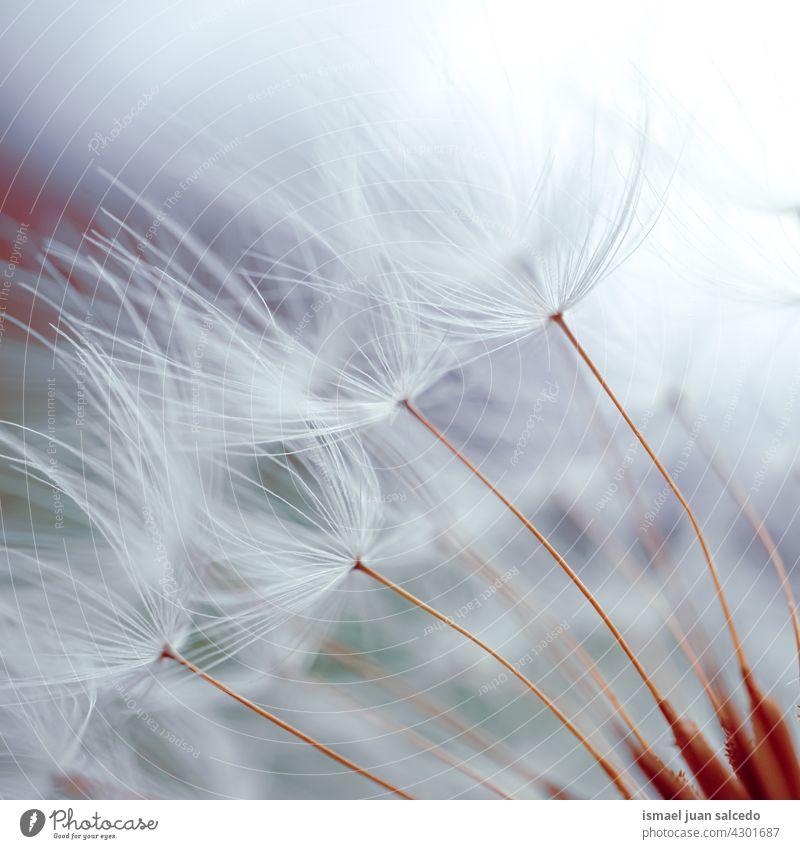 Romantischer Löwenzahnblüten-Samen im Frühling Blume Pflanze geblümt Flora Garten Natur natürlich schön abstrakt texturiert weich Weichheit Hintergrund