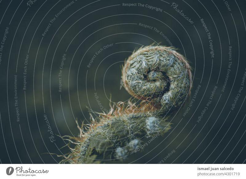 Spirale eines grünen Farnblattes in der Natur im Frühling Wurmfarn Blatt Spiralform Pflanze Blätter abstrakt Textur texturiert Garten geblümt dekorativ