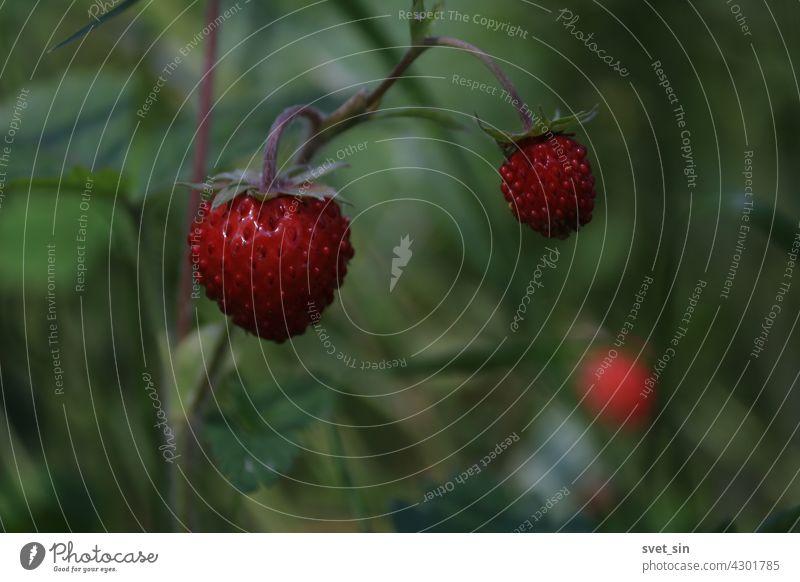 Fragaria vesca, Monatserdbeere, Wald-Erdbeere, Walderdbeere. Walderdbeerstrauch mit reifen glänzenden roten Beeren auf grünem Hintergrund. Reife rote Beere Nahaufnahme im Freien.