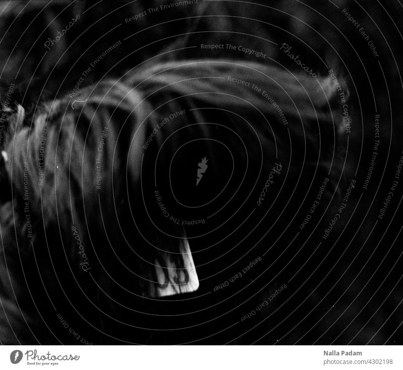 Marke und Ohr analog Analogfoto sw Schwarzweißfoto schwarzweiß Rind Tier Außenaufnahme Ruhrgebiet Fell