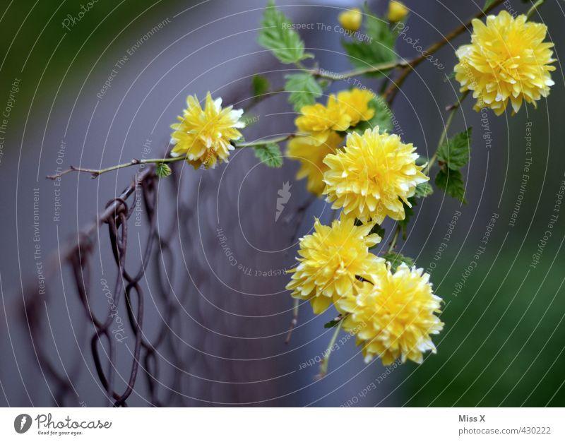 Wildwuchs Garten Blume Blüte Blühend Duft Wachstum gelb Ast Zweige u. Äste Zaun Metallzaun Draht bewachsen Ranke Frühlingsblume Frühlingsfarbe Farbfoto