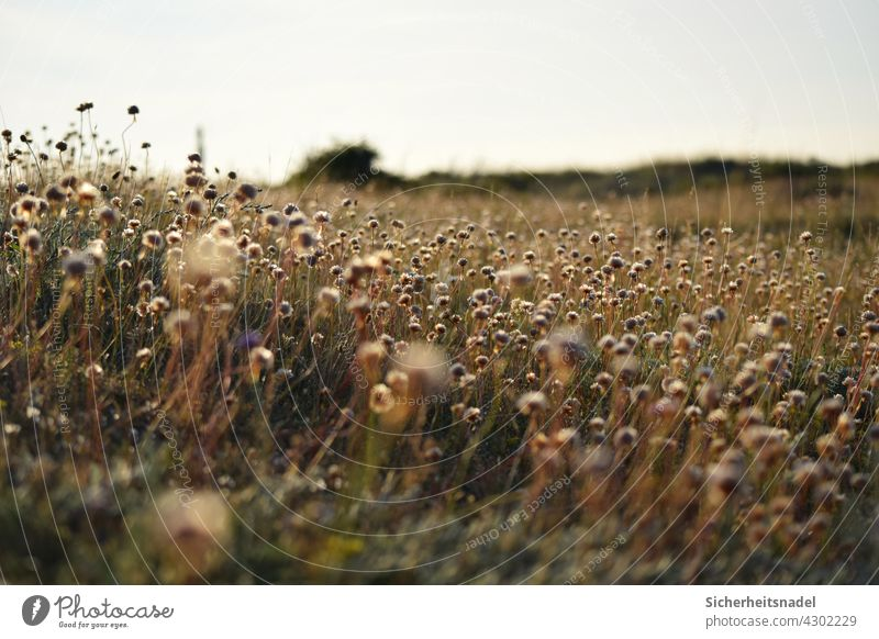 Verblühte Grasnelken Außenaufnahme Blume Pflanze Sommer Natur Blühend Blüte Menschenleer Blumenfeld verblüht Wiese Blumenwiese Fehmarn ostseeküste