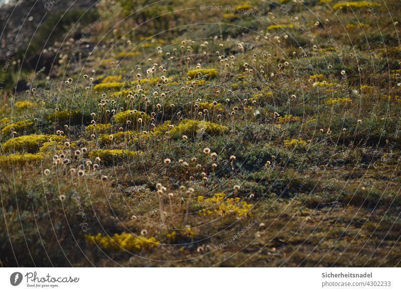 Wildblumenwiese Grasnelke Natur Blüte Wiese Sommer Außenaufnahme Pflanze Blume natürlich Menschenleer Fehmarn ostseeküste Farbfoto Abend Wildpflanze