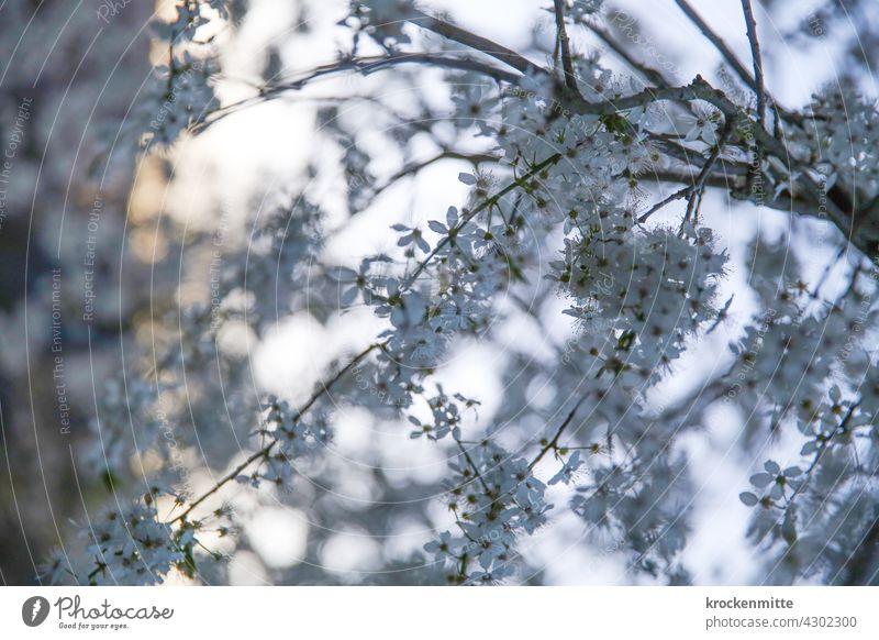 Kirschblüten im Abendlicht Frühling Blüte Baum Farbfoto Außenaufnahme Blühend Tag Schönes Wetter Frühlingsgefühle schön Park Sonnenlicht Natur Garten Himmel
