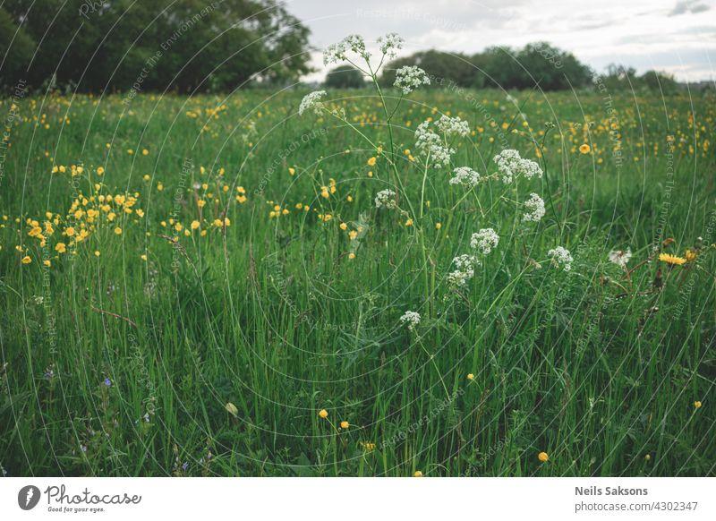 Wiese mit Blumen. Feld Sommer Natur Frühling grün Pflanze Schönheit Gras Garten geblümt gelb blau Saison Blüte Hintergrund Überstrahlung purpur Farbe farbenfroh