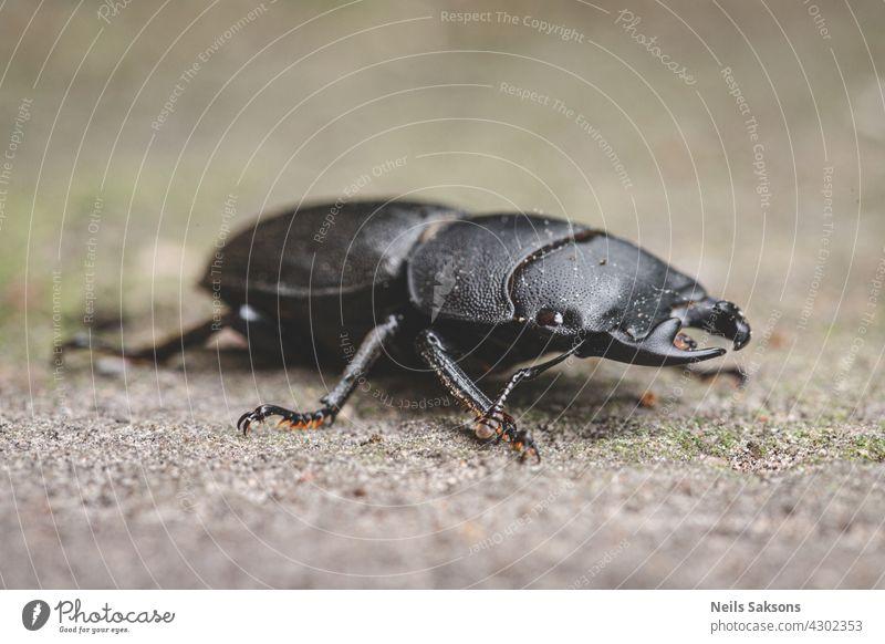 Dorcus parallelipipedus, der Kleine Hirschkäfer, ist eine in Europa vorkommende Hirschkäferart Insekt Makro Wirbellose Wanze Coleoptera Natur Fauna schwarz