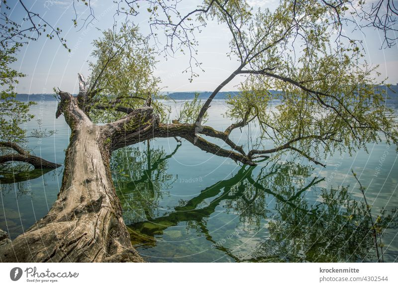 Baumast mit grünen Blättern ragt in den Bielersee auf der St. Peterinsel See Spiegelung Natur Wasser Reflexion & Spiegelung Himmel Umwelt Menschenleer ruhig