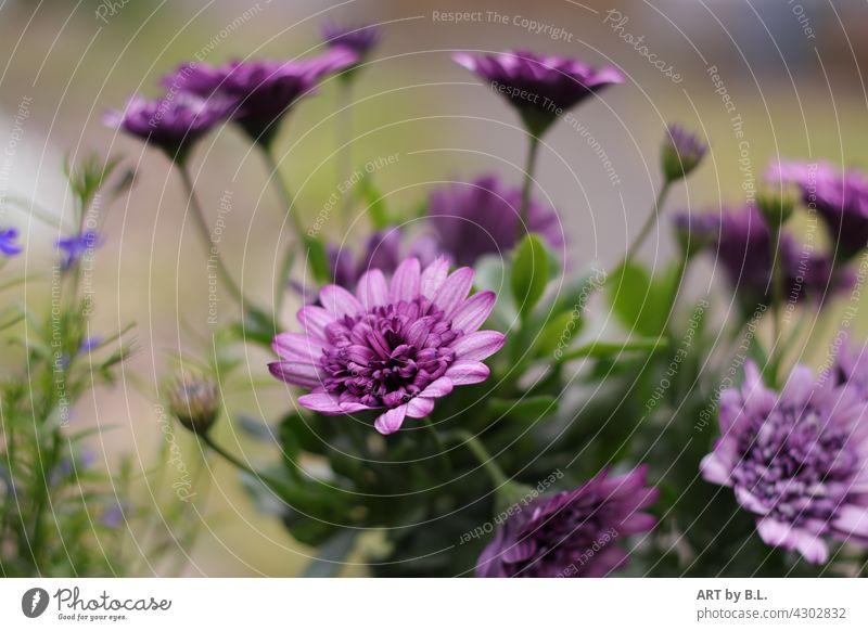 Blütenimpression lila blume blüten unikat garten natur flora floral flower