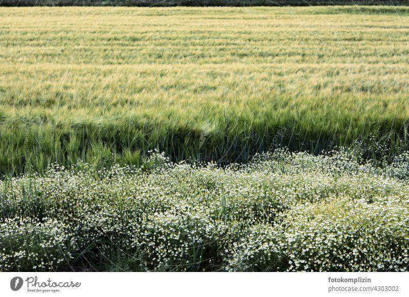 Getreidefeld mit Wiesenblumen am Feldrand Blütenblatt Blumenstrauß Ähren Landwirtschaft Nutzpflanze Kornfeld Ackerbau Sommer Weizen Wachstum ökologisch Ernte