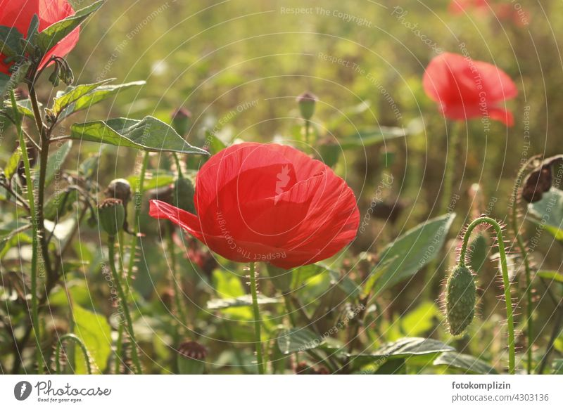 Mohnblüten Blume Wiese Blüte Mohnfeld Klatschmohn mohnwiese roter mohn mohnkapseln Sommer Pflanze Natur Außenaufnahme kleingarten zart Fröhlichkeit