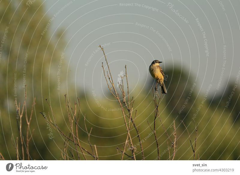 Schafstelze, Motacilla flava. Gelber Singvogel sitzt auf einer trockenen Pflanze an einem Sommerabend vor dem Hintergrund des Himmels. Vogel gelb wild