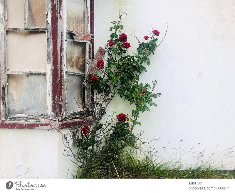 La vie en rose Fenster Fensterscheibe defekt gesplittert Pflanze Planzenkraft Sicht Blick Riß Scherbe Splitter Vandalismus Außenaufnahme Farbfoto Schaden kaputt