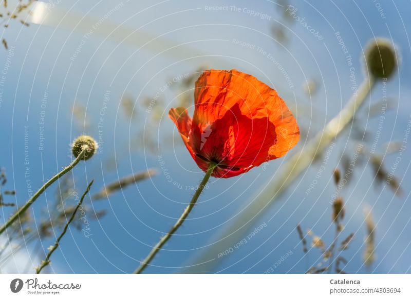 Montags Mohn Tageslicht schönes Wetter Sommer blühen Blütenblatt Klatschmohn Pflanze Flora Natur Rot Grün Mohnkapsel Gräser gräserblüte Wiese