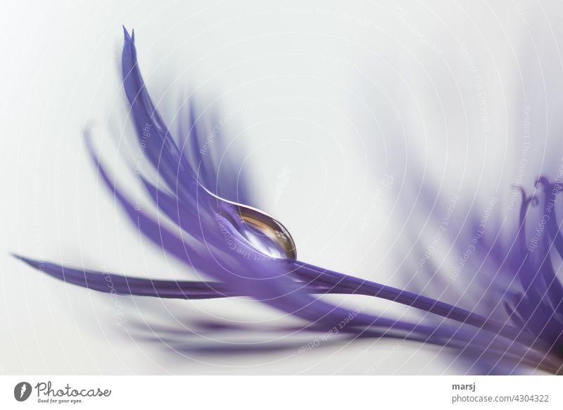 Ist doch kein Grund traurig zu sein. Tränenförmiger Tropfen auf Blütenblatt einer Flockenblume (Carduoideae) dünn violett Wassertropfen Reinheit