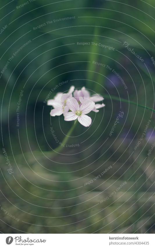 Wiesenschaumkraut im Gras entdeckt lila Blume Blüte Makroaufnahme Natur Farbfoto Garten Schwache Tiefenschärfe Frühling violett Blühend Pflanze Nahaufnahme