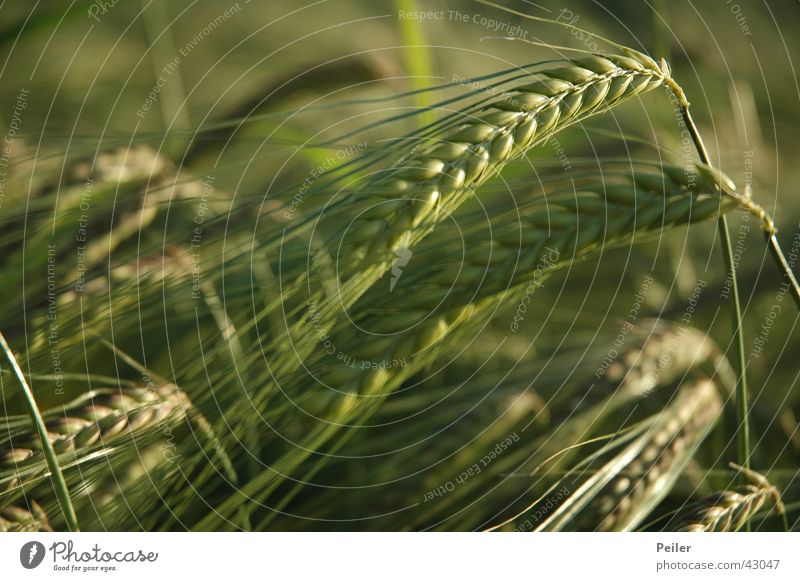 Gerstenfeld Ähren Gerstenähre Kornfeld grün Feld Landwirtschaft Außenaufnahme Abendsonne Unschärfe Strichhaar gerstenkorn Getreide anbau. Ackerbau Makroaufnahme