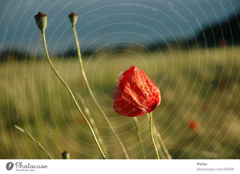 Mohn im Kornfeld 2 Blume grün blau rot Blüte
