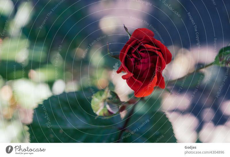 Rote Rose   grün, gelb, rot Blume Farbfoto rosa Außenaufnahme Nahaufnahme Blütenblatt natürlich Romantik Liebe Pflanze Dekor Natur Hintergrundbild schön dunkel