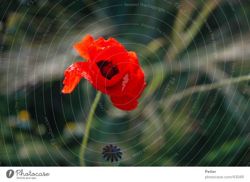 Ein Mohn im Kornfeld... Blume rot grau grün Weizen