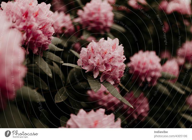 Rosa Rhododendron-Blütenköpfe auf Stiel mit grünen Blättern an einem Busch. Florale Nahaufnahme, Makroaufnahme. rosa rhododendron Blume Blumen Natur Frühling