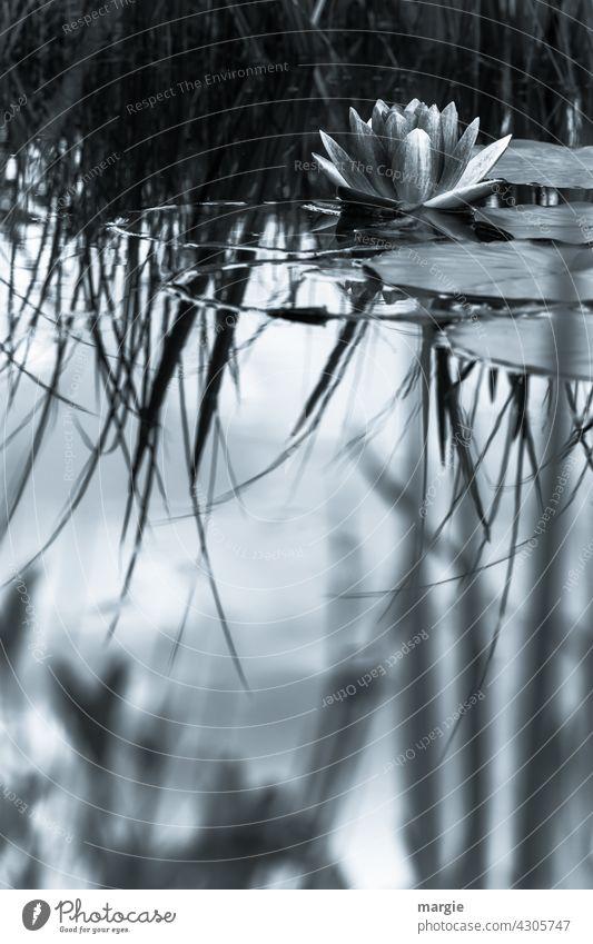 Teichrose im See Natur Außenaufnahme Pflanze Menschenleer Blatt Wasser Reflexion & Spiegelung Wasseroberfläche Wasserspiegelung Umwelt Idylle Unschärfe