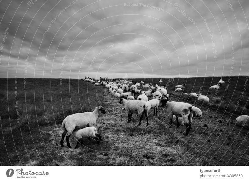 Pulloverschweine am Deich Schaf Schafherde Schafe matschig Weg Küstenschutz deichschaf Weide Herde Außenaufnahme Tiergruppe Wolle Nutztier Wiese Natur