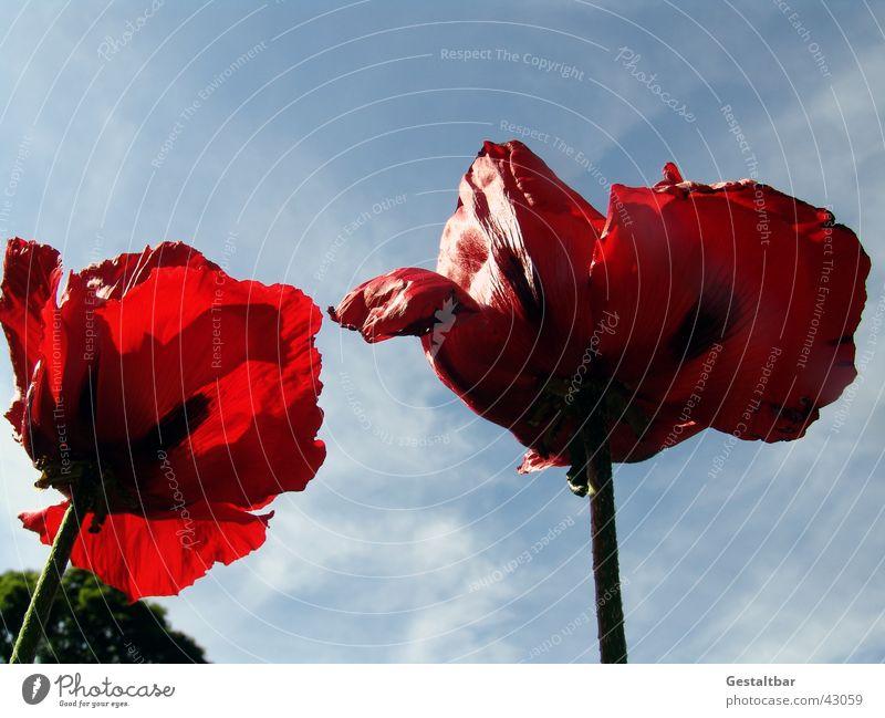 Riesenmohn Himmel Blume rot Blüte Mohn welk gestaltbar