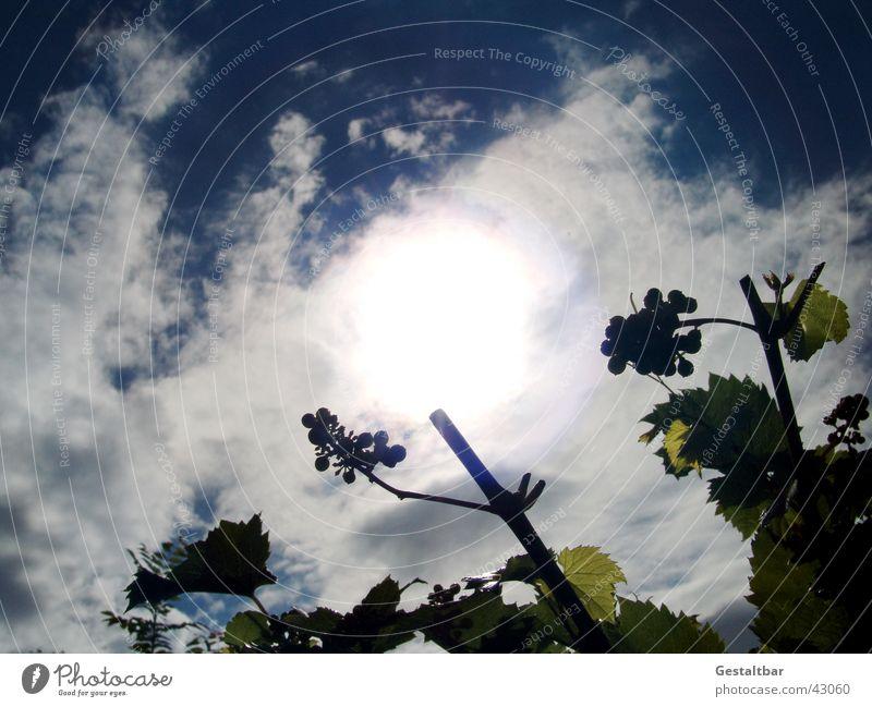unreife Früchtchen Himmel grün blau Wolken Berge u. Gebirge Wein Weintrauben gestaltbar