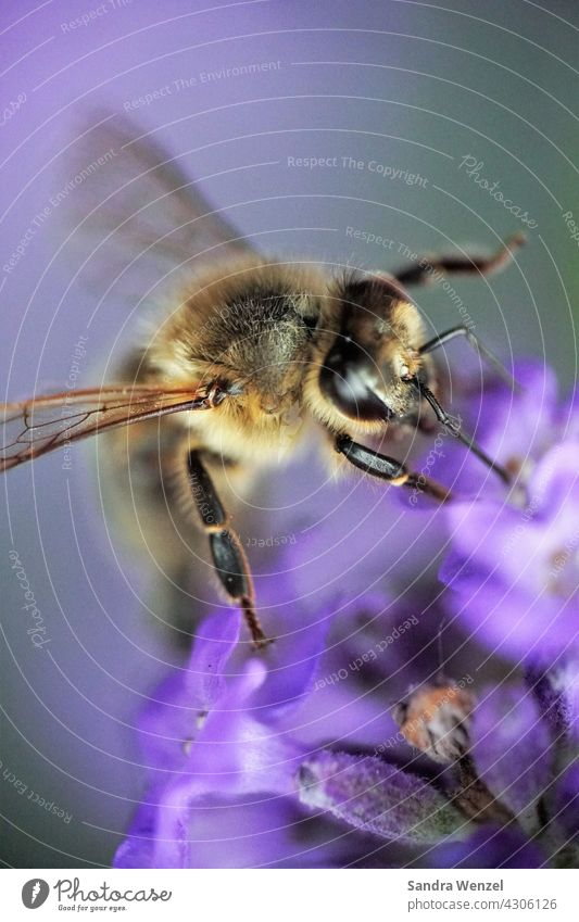 Biene Nektar Honig Wildbiene Honigbiene Imker Insekten Insektensterben Bienensterben Aussterben Artenschutz Lavendel Macrofotografie nützlich Leben