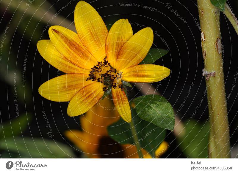 Kleine Sonnenblume mit gelben Blättern und grünen Zweig im Garten Blume Pflanze Sommer Blatt Natur Pollen Makroaufnahme blau rot hell mehrfarbig Frühling Wiese