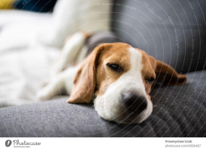 Beagle Hund müde schläft auf einer Couch Hintergrund Haus Natur Tier Innenbereich räkeln Lügen Säugetier modern reinrassig Porträt Erholung ruhen aussruhen Raum