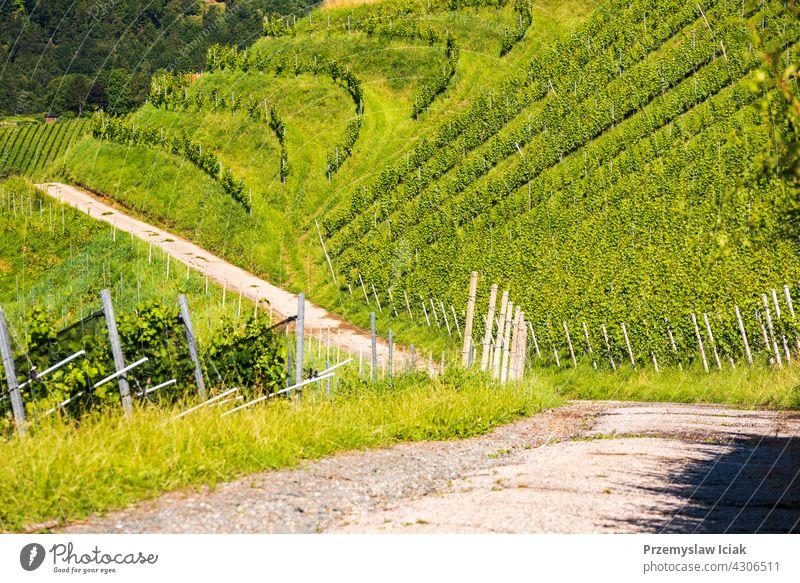 Weinberg auf österreichischer Landschaft. Landschaft der steirischen Natur. Hintergrund Baum Haus Muster Sommer Winter Sonne Österreich steiermark Weinrebe grün