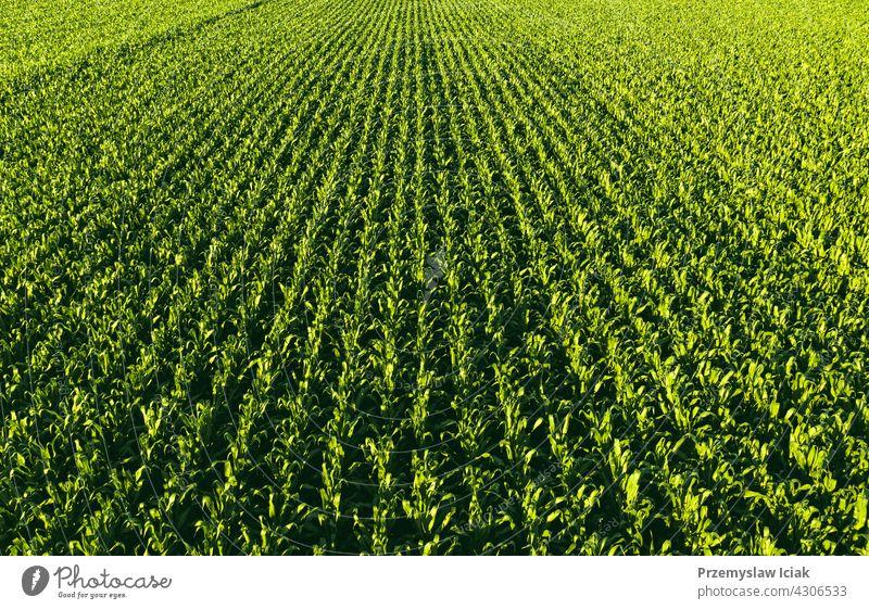 Luftaufnahme aus geringer Höhe von Reihen von Maispflanzen. Hintergrund Lebensmittel Muster Sommer Natur Blatt Frühling Ackerbau Kornfeld Szene frisch