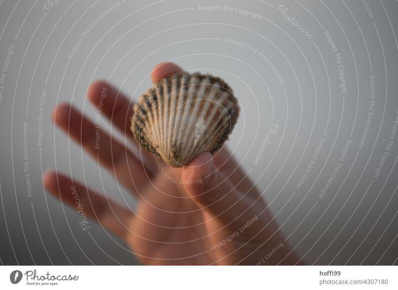 eine im Watt gefundene Muschelschale wird hochgehalten suchen Wattenmeer muscheln sammeln Küste Ebbe Flut ebbe und flut nass Insel Sand Wasser Gezeiten Nordsee