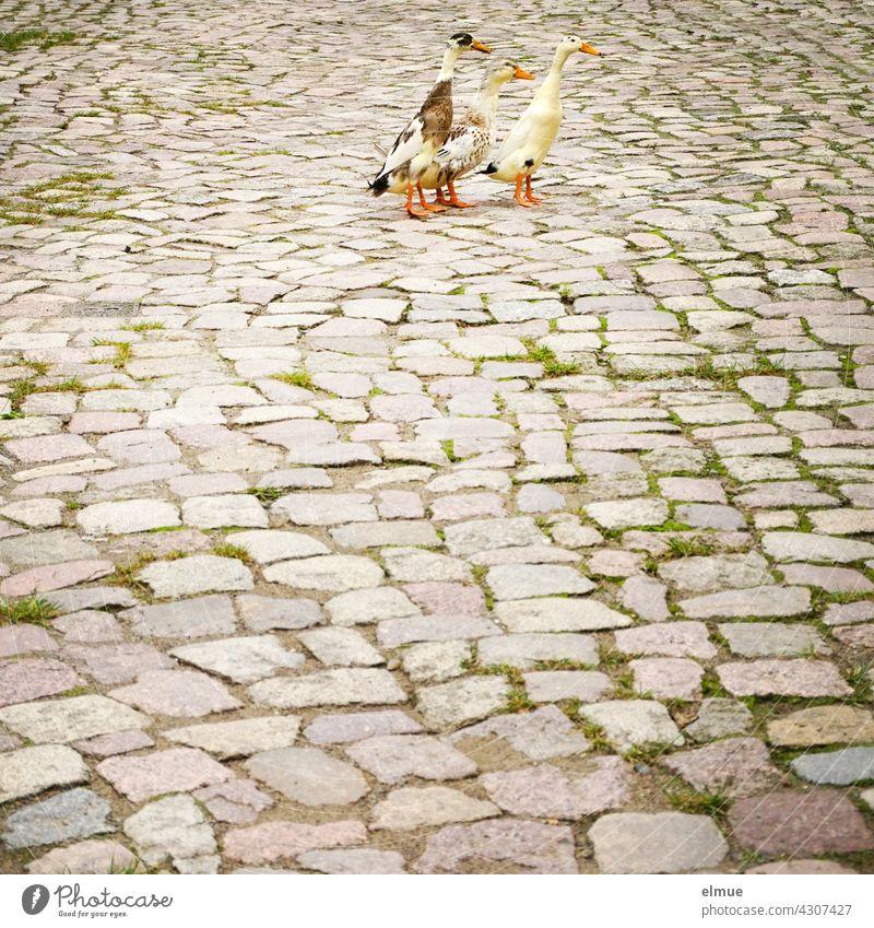 Drei gescheckte Indische Laufenten auf altem Kopfsteinplaster / Pinguinenten / Flaschenenten / Schneckenvertilger Schneckenbekämpfung Ente Entenrasse aufrecht