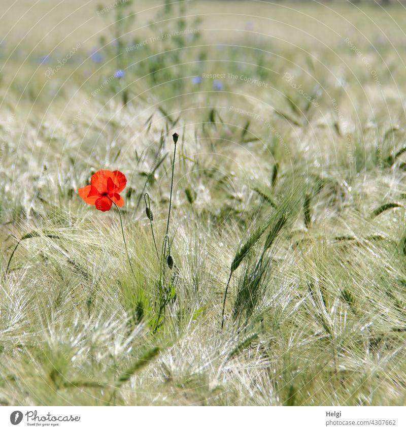 Mohn am Mittwoch - eine Mohnblume blüht in einem unreifen Gerstenfeld Klatschmohn Mohnblüte Blüte Blume Knospe Ackerbau Landwirtschaft Ähre Landschaft Natur