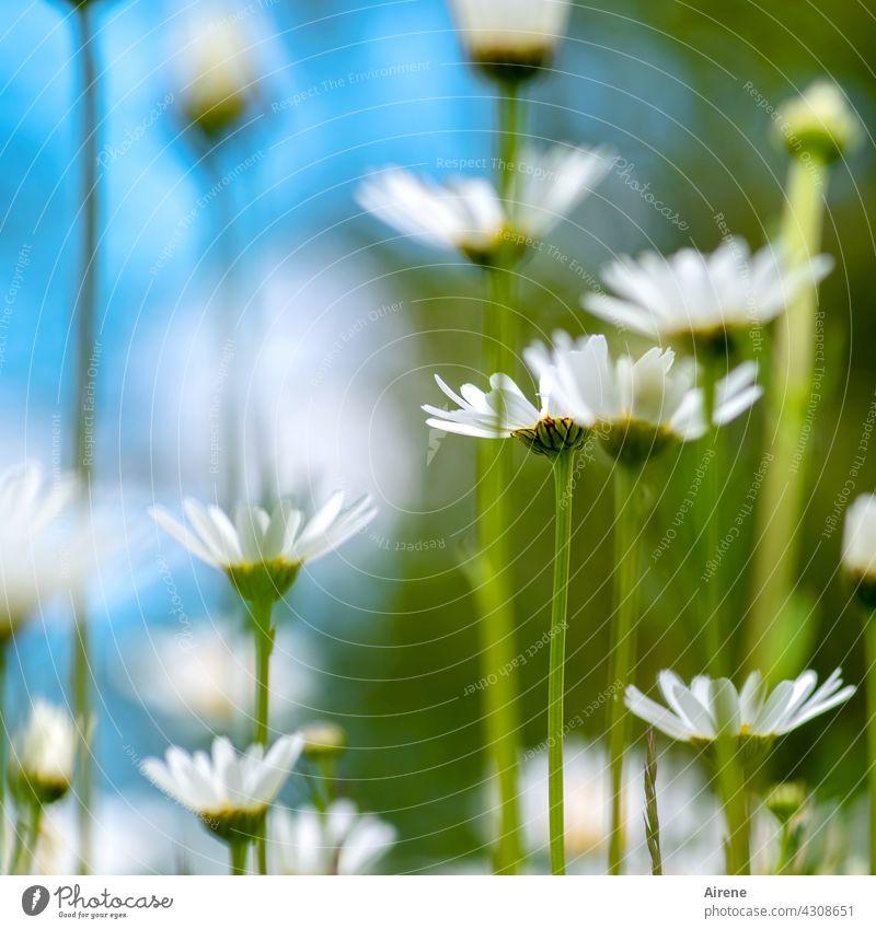mehr Margeriten Blumenwiese Wiese Natur weiß natürlich Wiesenblume grün hell blau himmelblau sommerlich Garten Schwache Tiefenschärfe zart Sommer Himmel