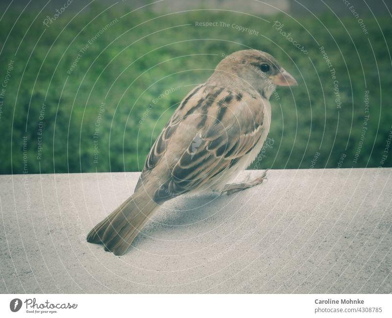 Ein Spatz sitzt auf einem Fenstersims Vogel Tier Außenaufnahme Farbfoto Tag 1 Menschenleer Wildtier Tierporträt Natur Schwache Tiefenschärfe Umwelt grau sitzen
