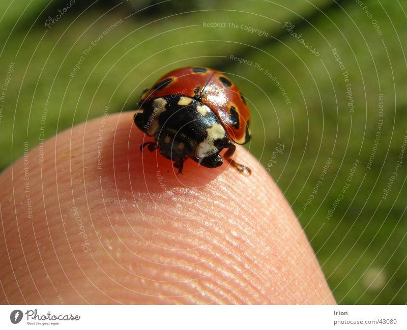 Komm kleiner Käfer Marienkäfer Fingerkuppe Mai Frühling Insekt süß Nahaufnahme Makroaufnahme Glück Detailaufnahme irion