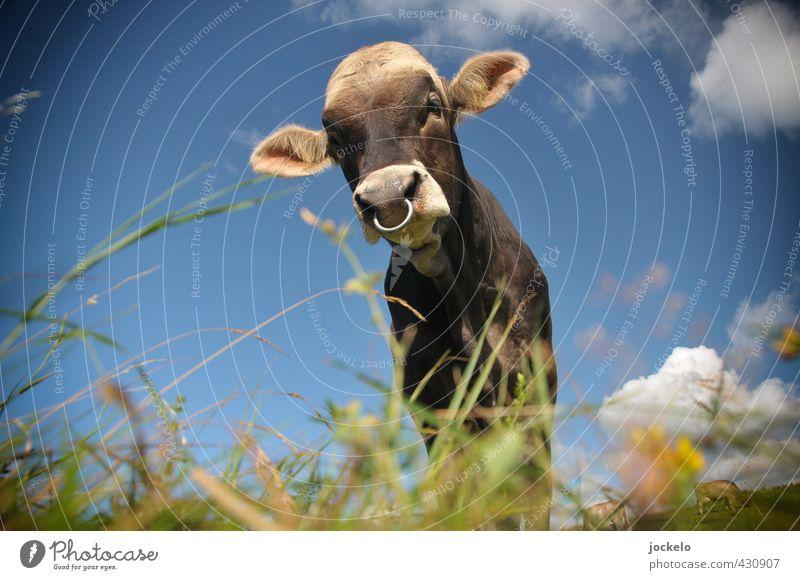 Bulls Eye Natur Landschaft Sommer Wiese Feld Alpen Berge u. Gebirge Tier Haustier Nutztier Kuh 1 füttern blau braun mehrfarbig gelb grün Stolz Farbfoto