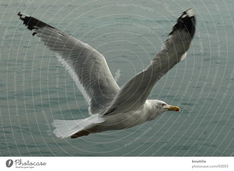 Frei-Flug Möwe See Meer Vogel Schnabel grau fliegen Flügel