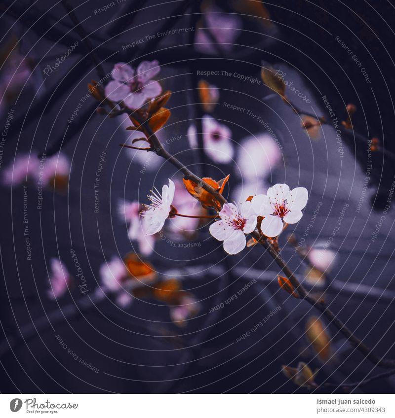 schöne Kirschblüte im Frühling Kirschblüten Sakura-Blüte Kirschbaum Kirsche Sakurabaum Blume rosa Blütenblätter geblümt Flora Natur natürlich dekorativ