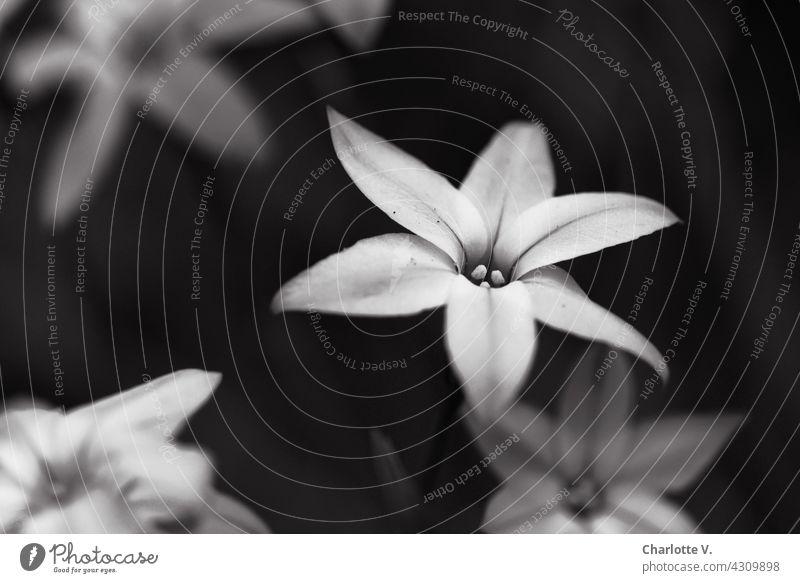 Blumen in Schwarzweiß Blüte zart Schwarzweißfoto schwarzweiß Natur Pflanze Blühend Nahaufnahme Schwache Tiefenschärfe Außenaufnahme schön natürlich Sterne