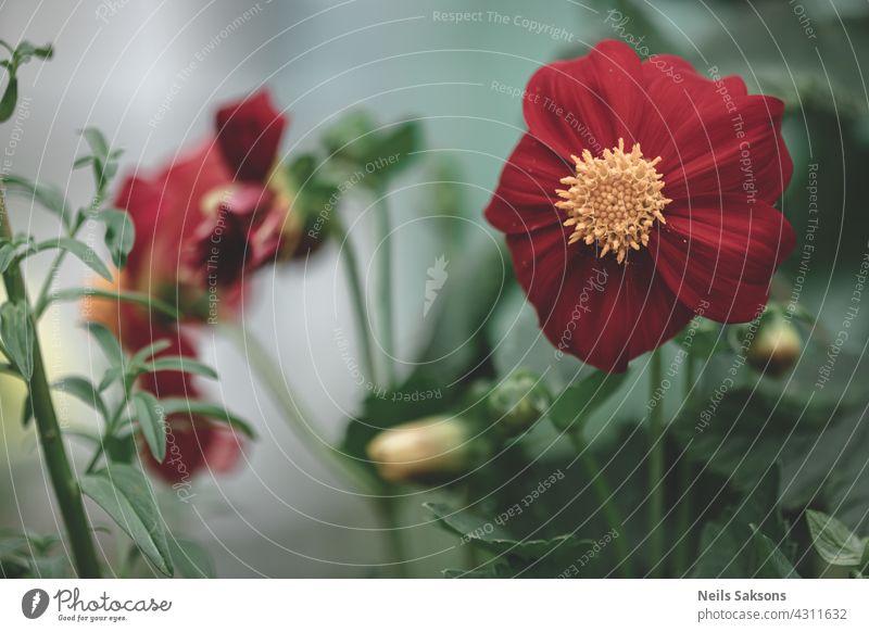 Knospen von roten Dahlien. Blühende Sträucher von Dahlien in Form eines Blumenbeetes im Garten Blütezeit Strauch Gartenarbeit nach oben Blumenstrauß Saison
