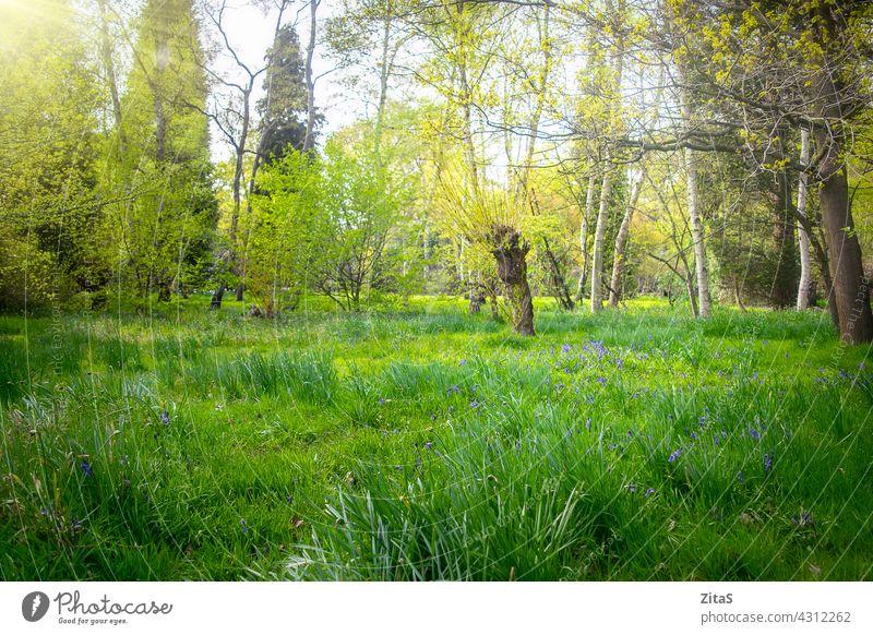 Sonniger schöner grüner Wald mit Glockenblumen im Gras Natur Wälder Holz Blume Blumen Frühling Sommer hübsch Baum Bäume sonnig Sonne frisch Laubwerk Blätter