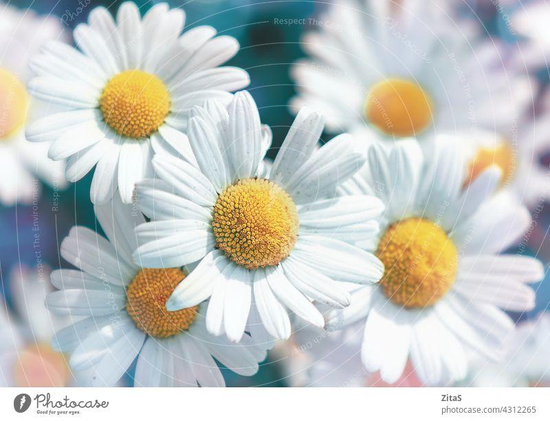Blühende weiße Gänseblümchen Blumen, Weichzeichner Bild Margeriten Natur weich Frühling Sommer Nahaufnahme Makro Blütenblatt gelb Blütenblätter Schönheit schön