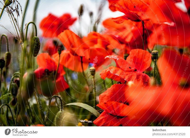 the day after Mohnfeld Farbfoto grün Kontrast Frühling Sommer Außenaufnahme rot Pflanze Natur wunderschön prächtig leuchtend Mohnblüte Blume Blüte blühen