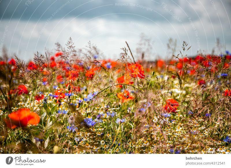 *2 2 0 0* jubeltrubelheiterkeitmo(h)ntag Mohnblume Unschärfe Blatt Blühend Schönes Wetter schön Wiese Garten Blütenstaub prächtig Sommer leuchtend Wärme