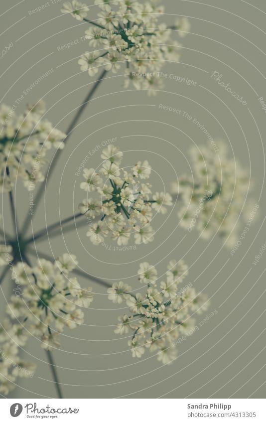 Wildblumen mit weissen Blüten wildblume Natur natürlich blühen Pflanze natürliches Licht Hintergrund neutral Unschärfe nah Tageslicht natürliche Farbe Sommer