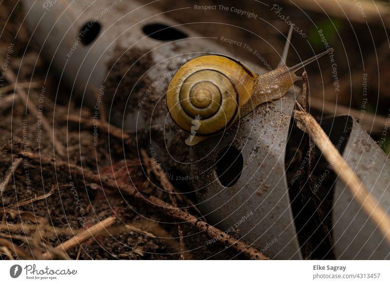 Schwarzmündige Bänderschnecke/ Cepaea nemoralis Schnecke Schneckenhaus Tier Fühler Nahaufnahme Außenaufnahme klein Schwache Tiefenschärfe Menschenleer